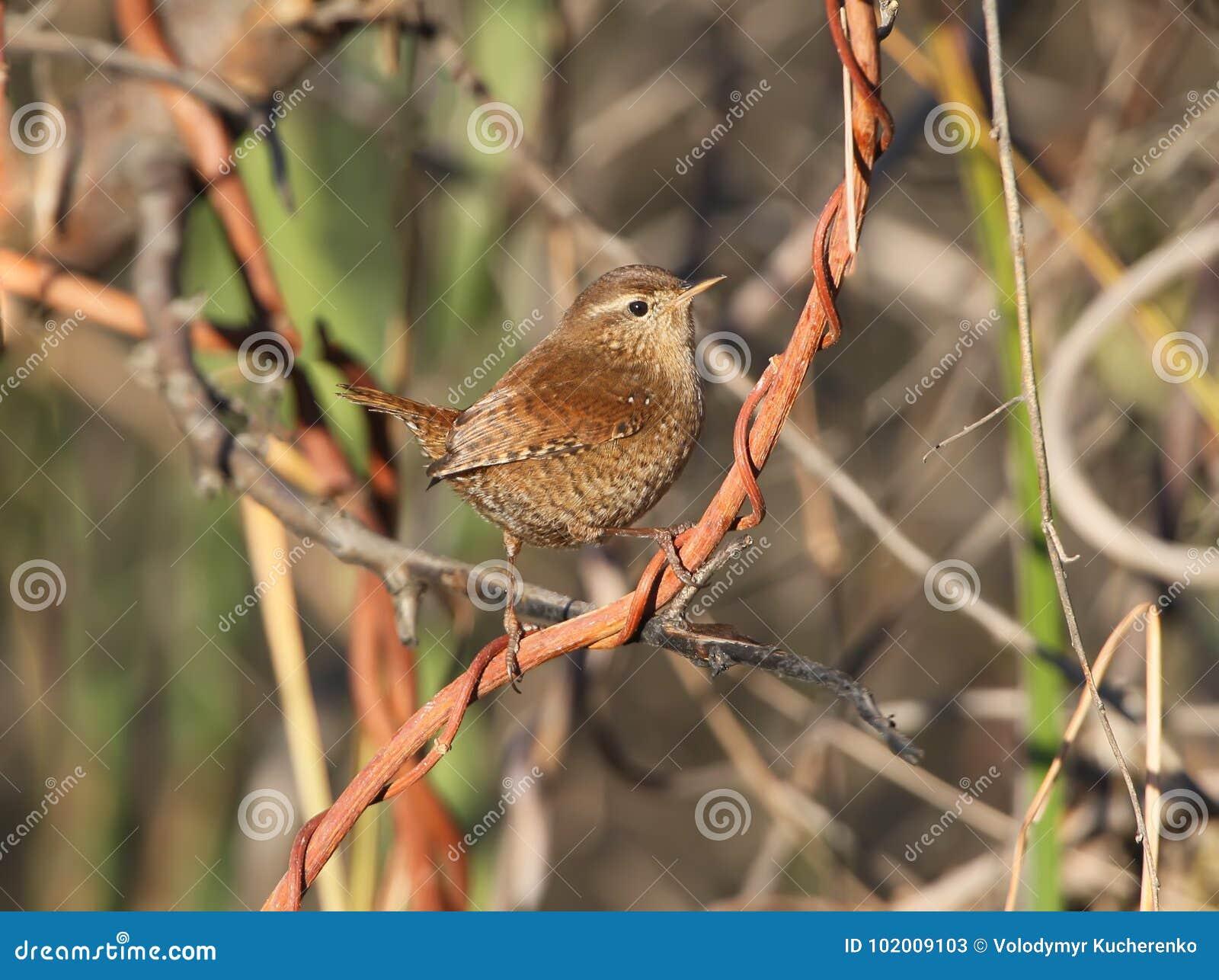Roitelet eurasien dans l habitat naturel