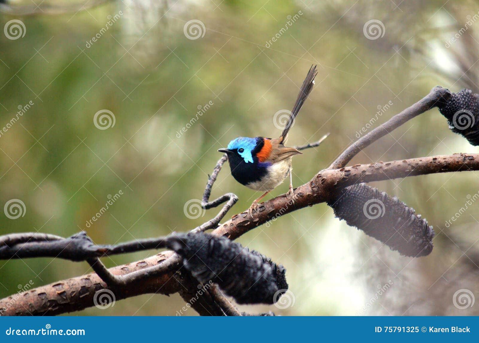 Roitelet féerique varié de mâle australien (lamberti de Malurus)