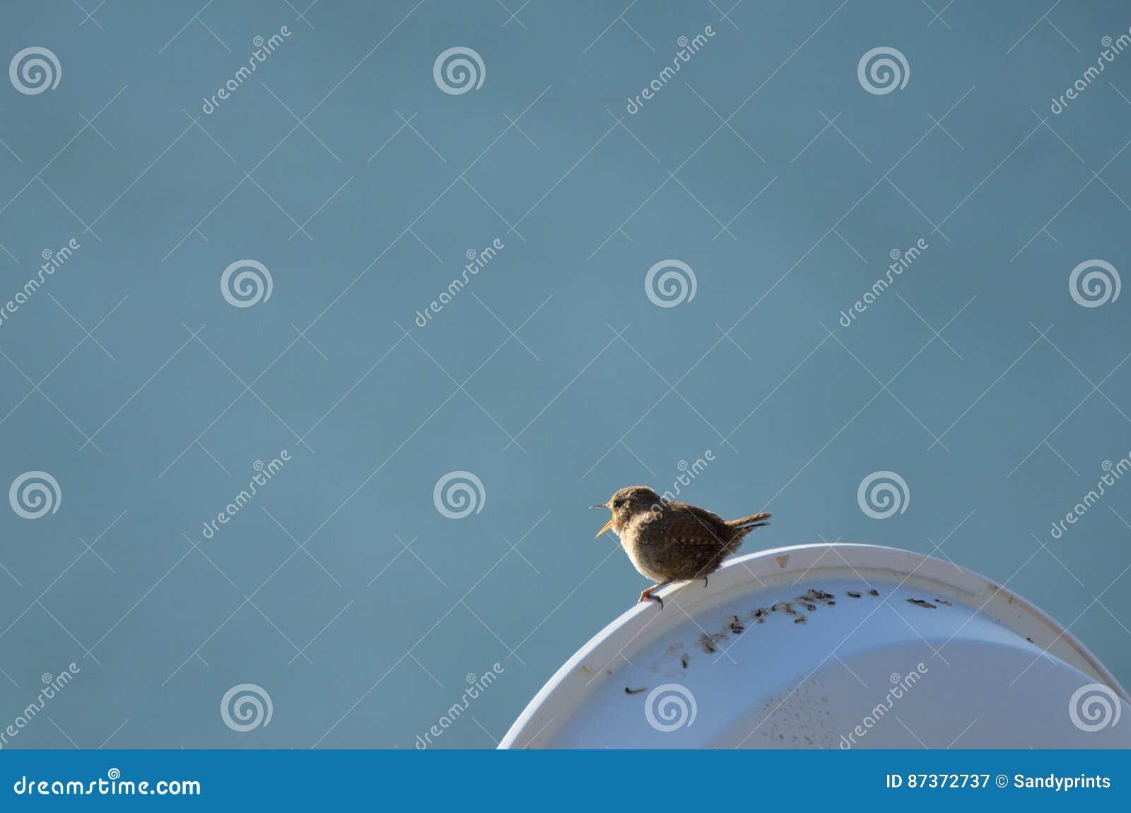Roitelet, petit oiseau britannique