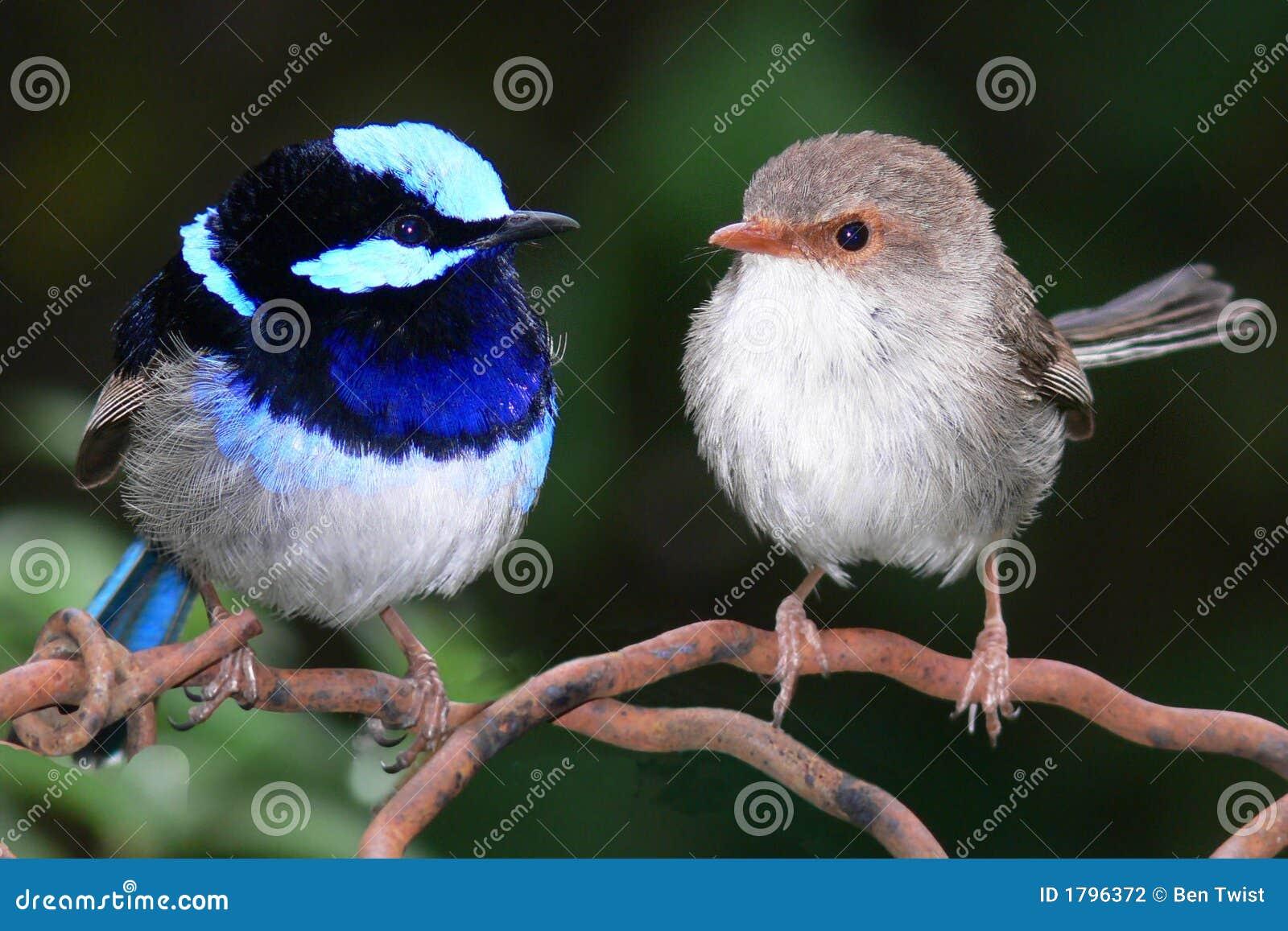 Roitelets féeriques bleus superbes