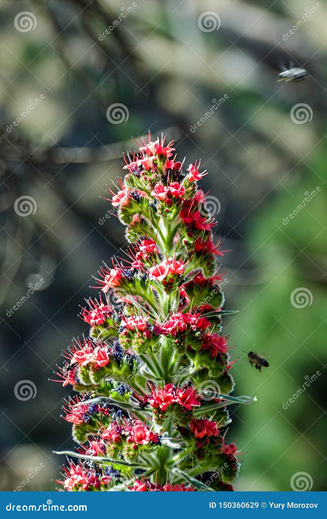 Rojo bonito endêmico de florescência de Tajinaste da flor - abelhas do wildpretii- do Echium os poucos e que voam ao redor O temp