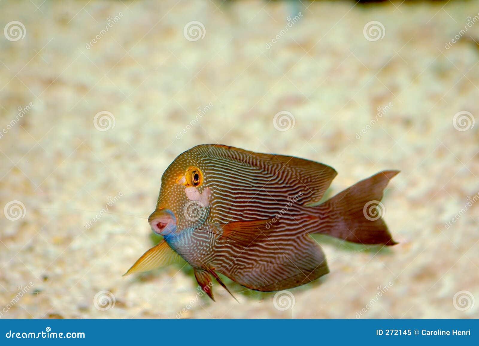 Rojo con los pescados blancos de las rayas