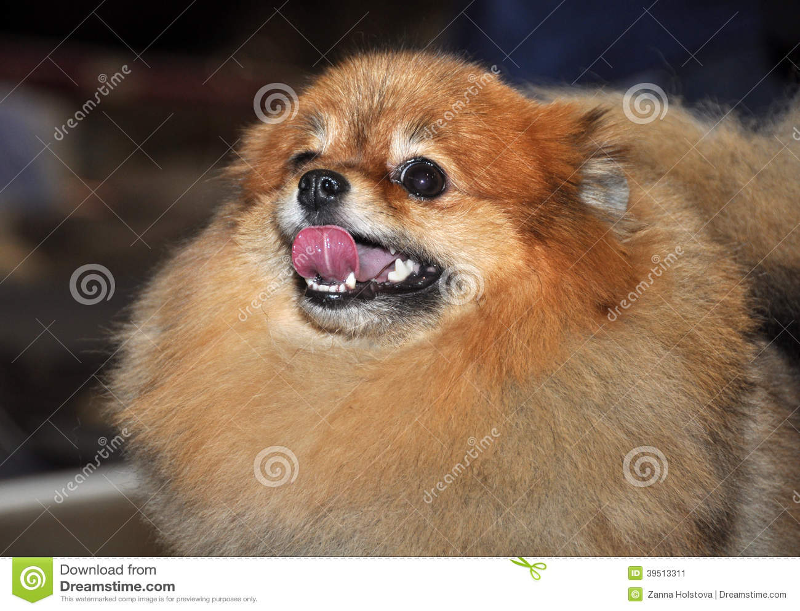 Rojo del perro del perro de Pomerania