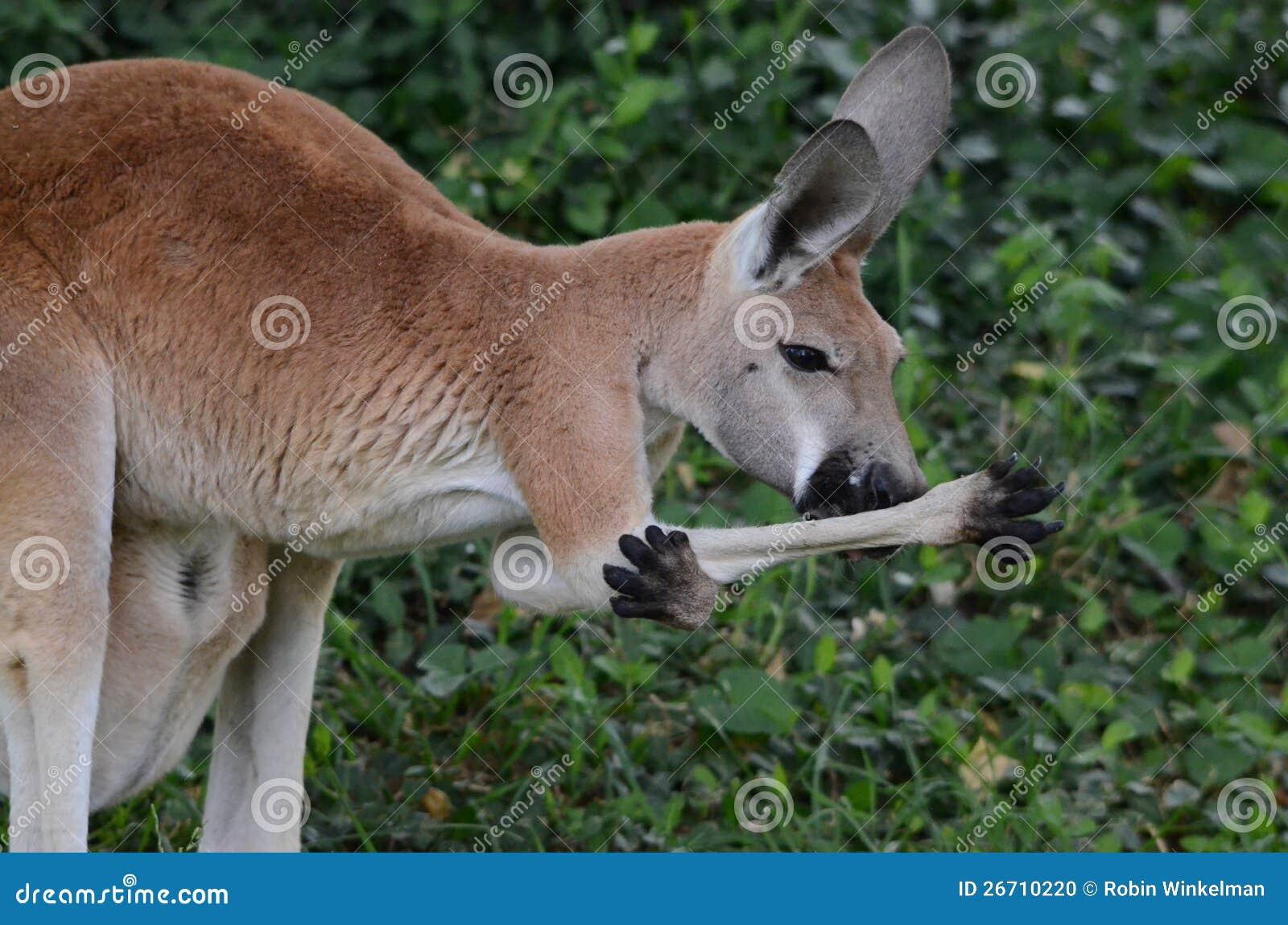 Rojo femenino kangaroo2