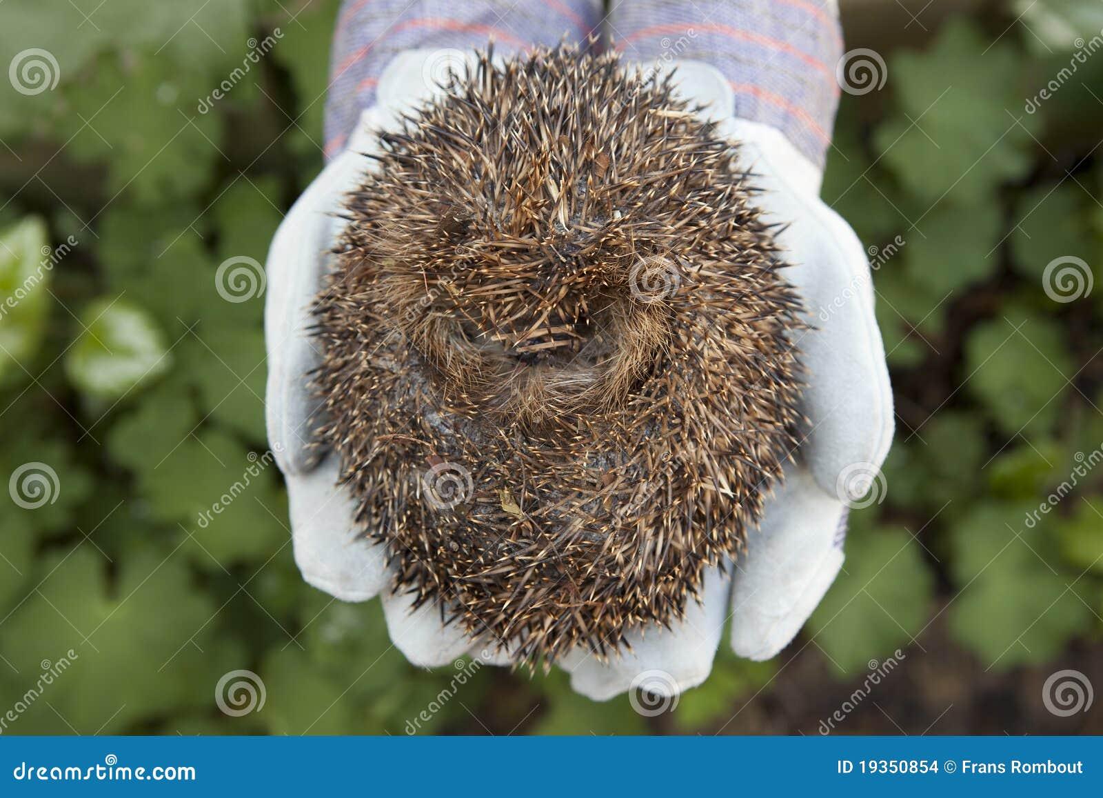 Rolado acima do hedgehog