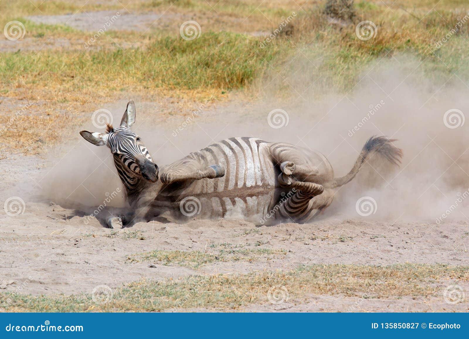 Rolamento da zebra das planícies na poeira