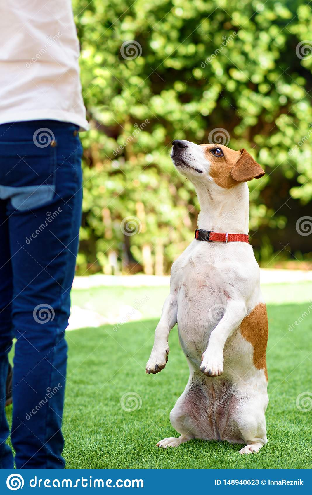 Rolig hund f?r st?ende som sitter p? bakre ben som tigger med ?gon, i att be blick