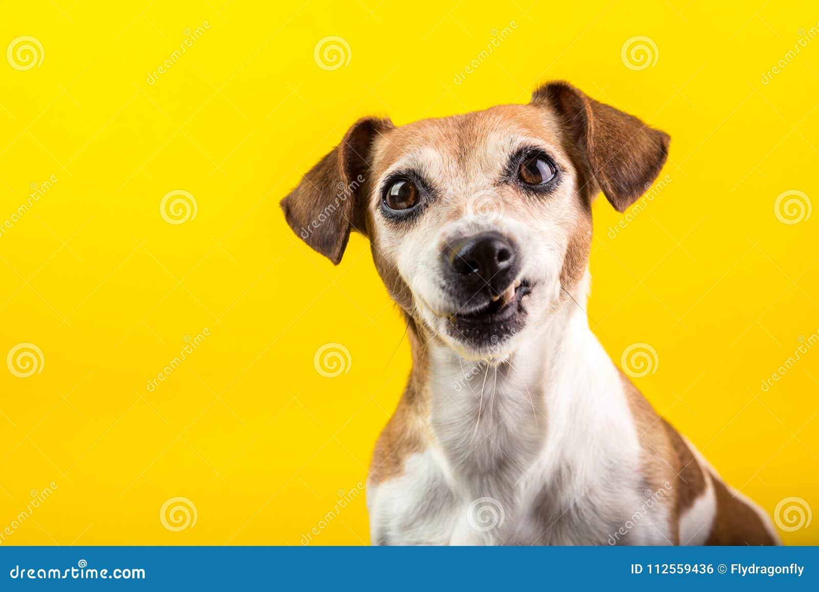 Rolig hundavsmak, förnekande, motsättningframsida Universitetslärare` t gillar det Grinar tandhusdjuret Gul bakgrund