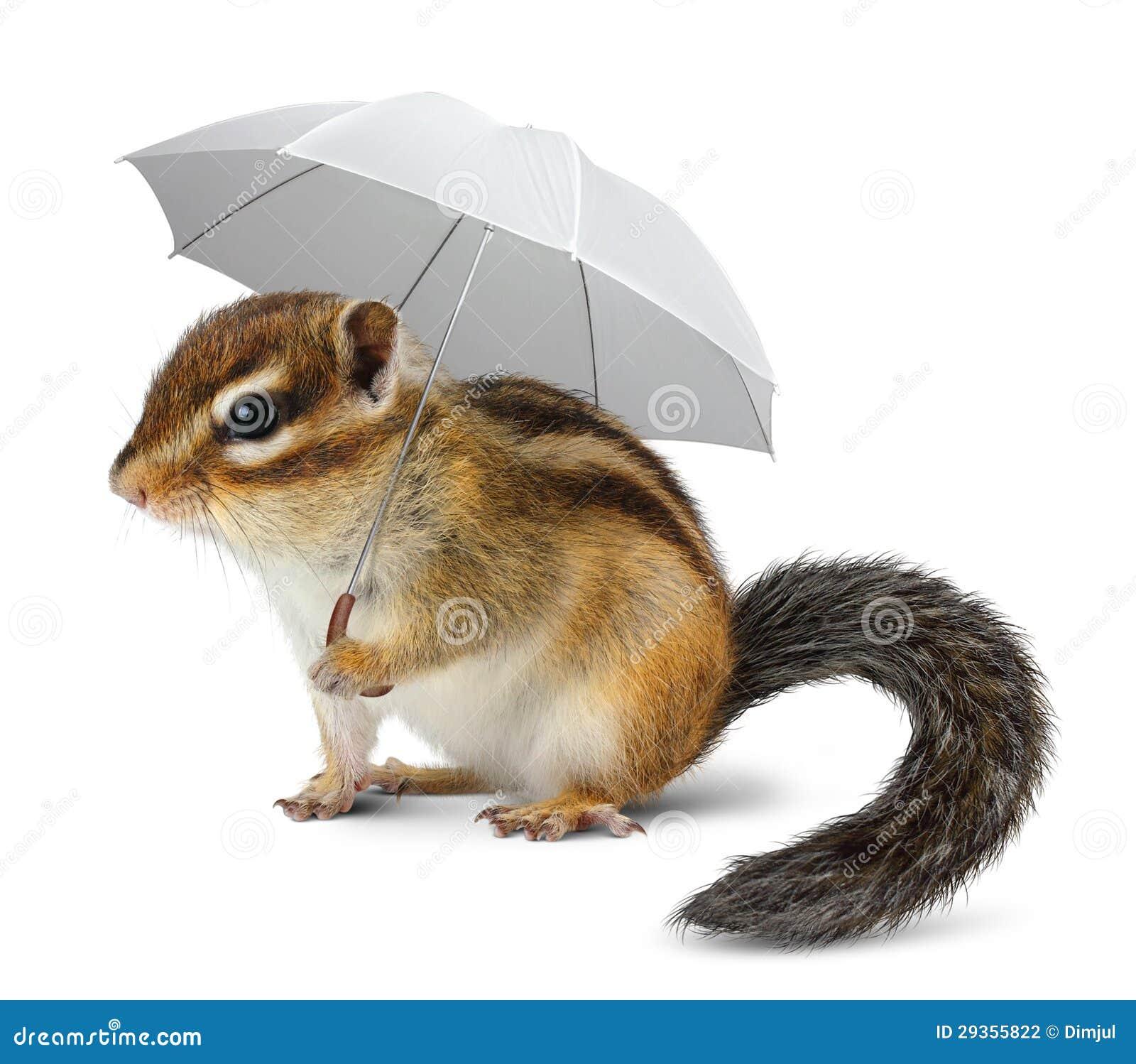 Rolig jordekorre med paraplyet på vit