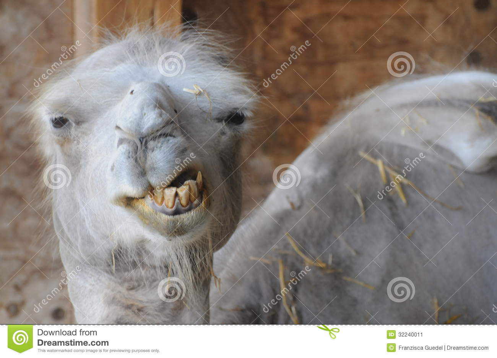 Rolig kamel med dåliga tänder