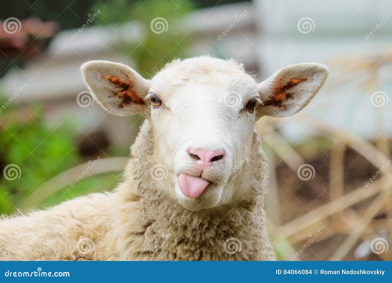 Roliga får