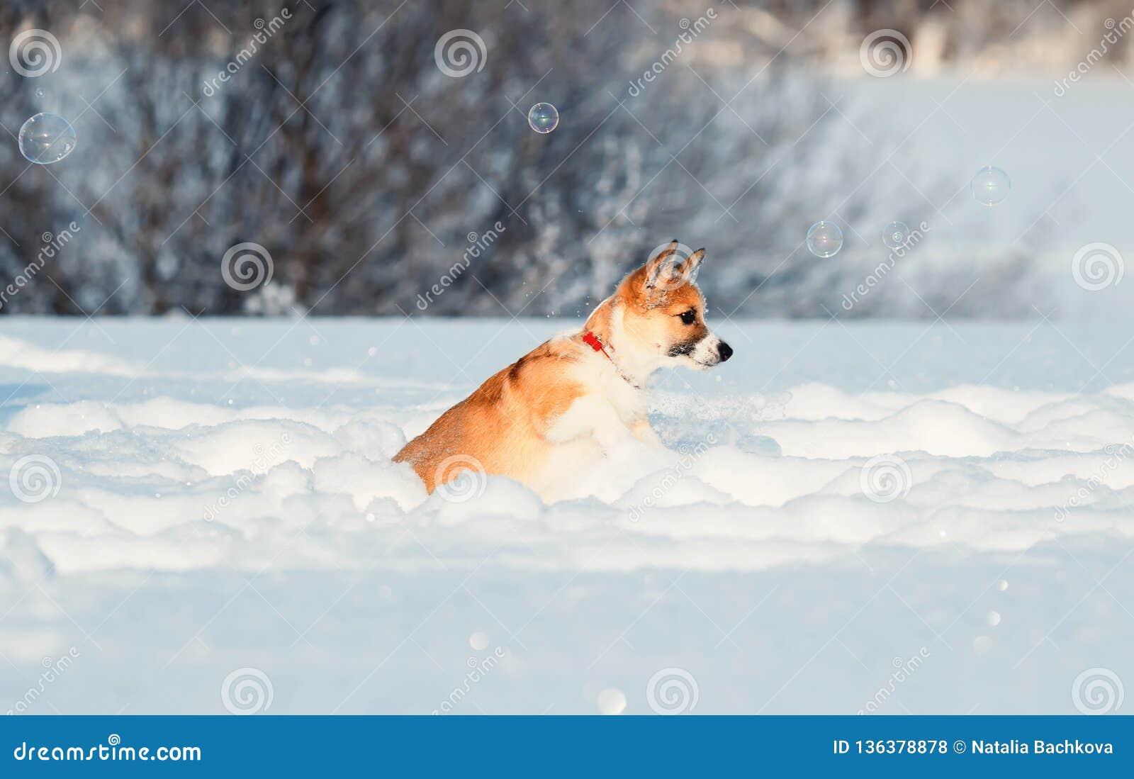 Roliga lås för gullig röd valpCorgi som skimrar härliga bubblor för tvål i vintern Sunny Park som hoppar skickligt i vita snödriv