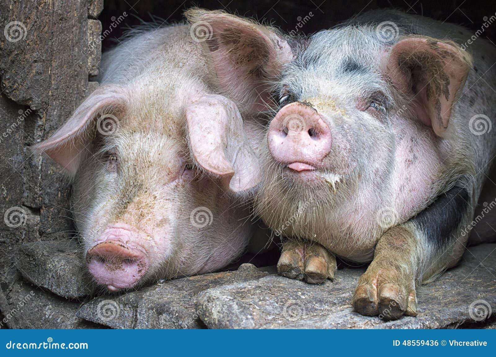 Roliga rosa svin i stallen