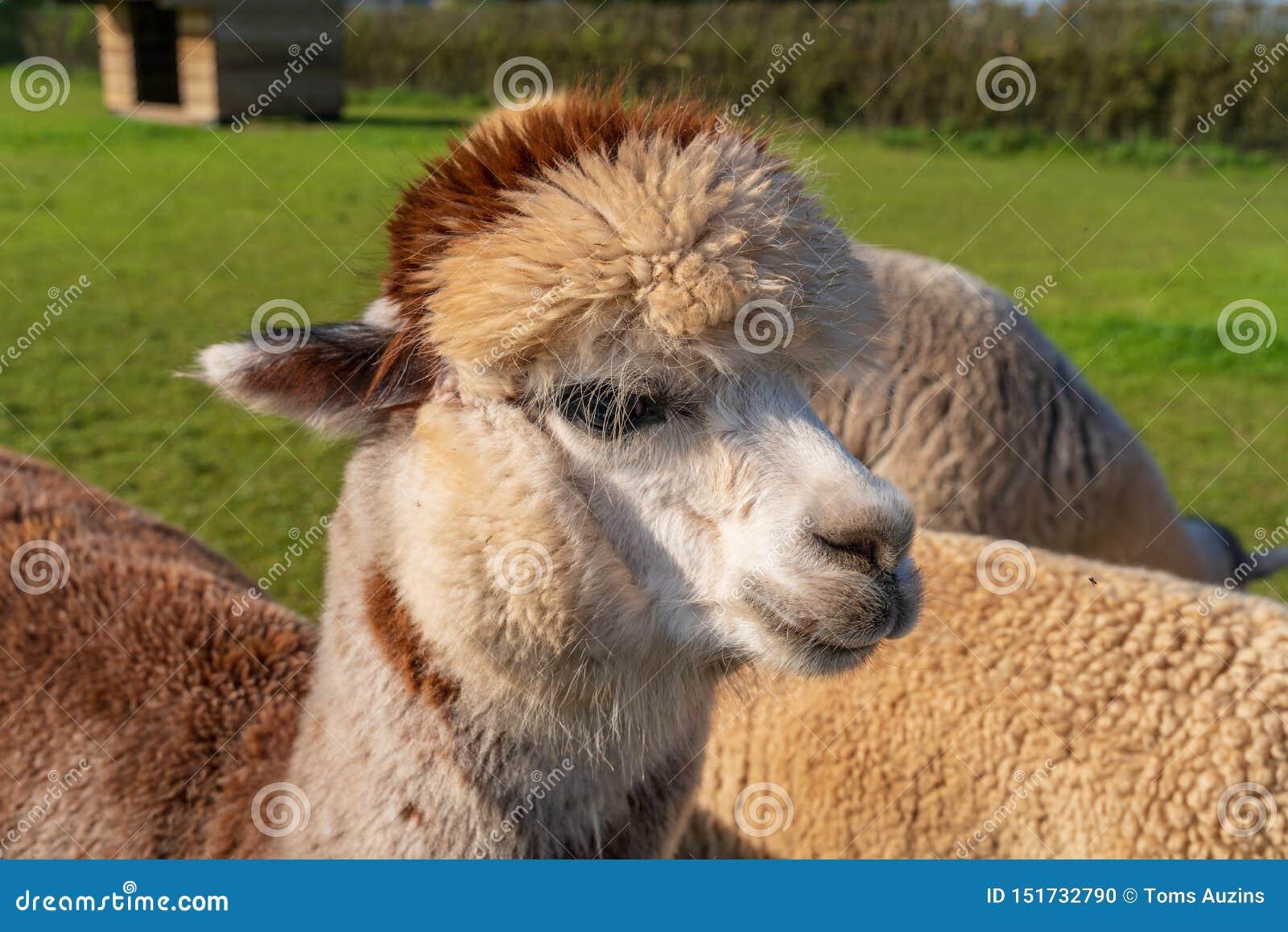 Roliga seende alpacas på lantgården