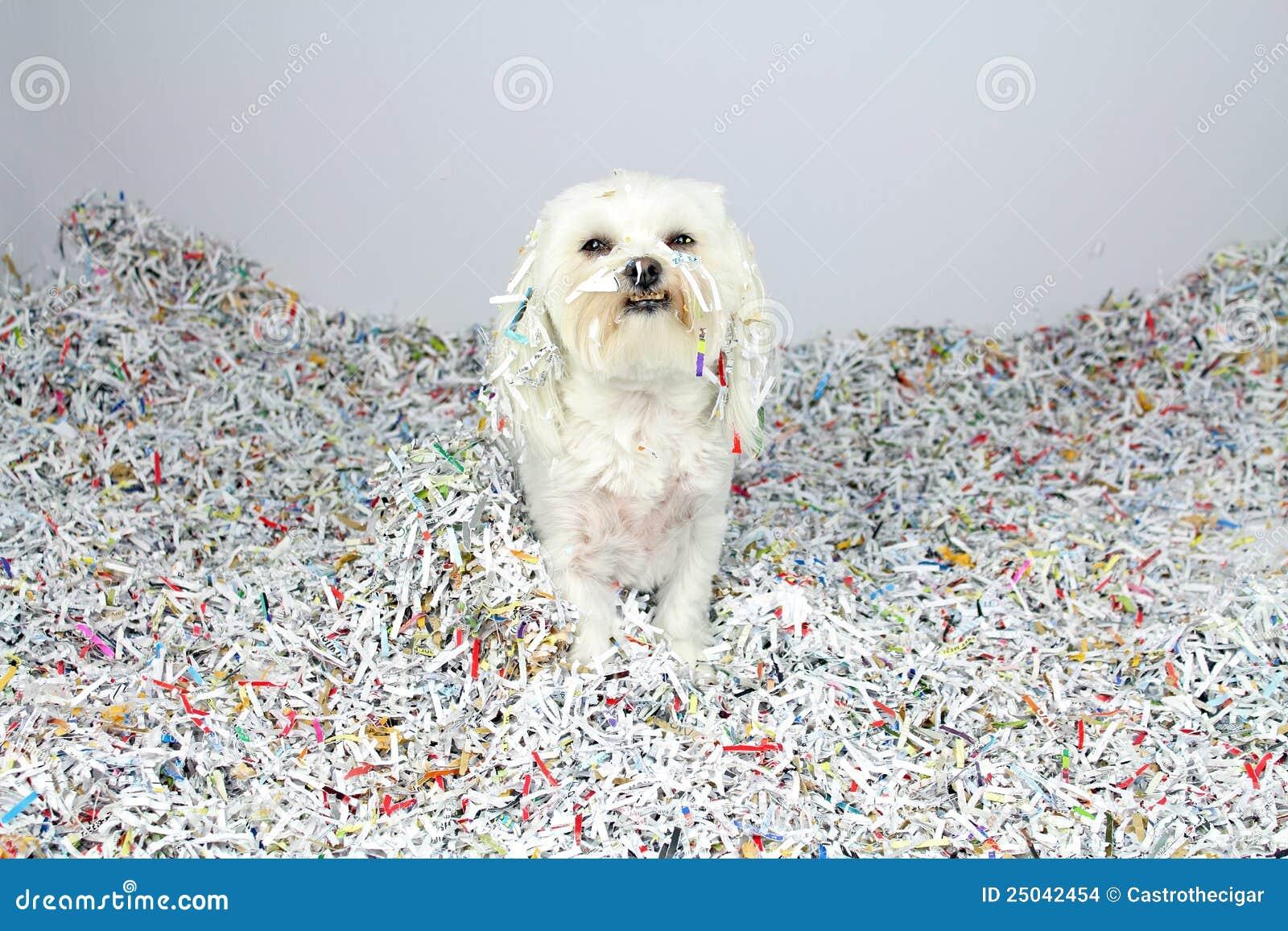 Roligt maltese problem för hund