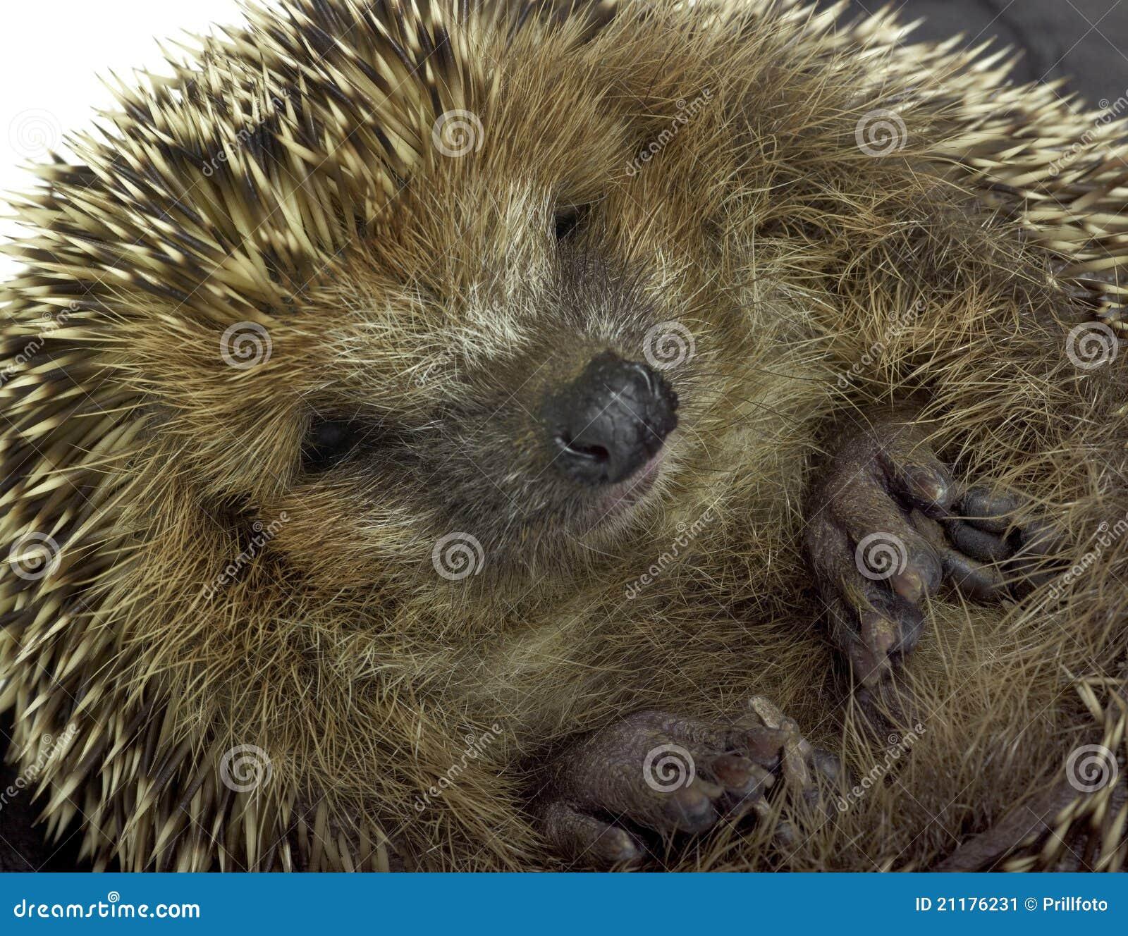 Rolled-up hedgehog portrait