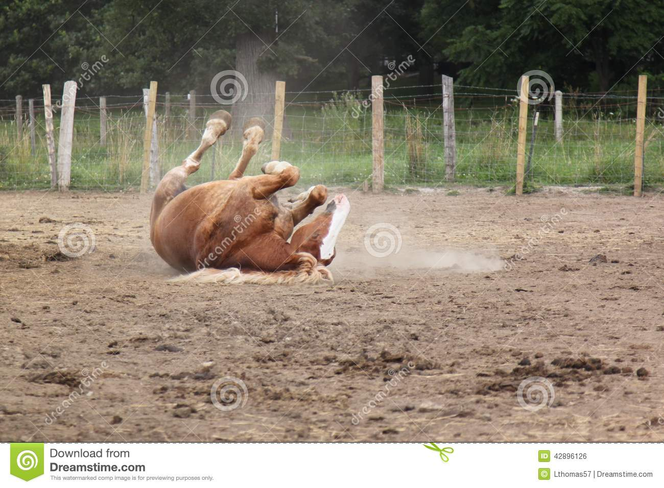Rolling in the dirt stock photo  Image of dust, equine