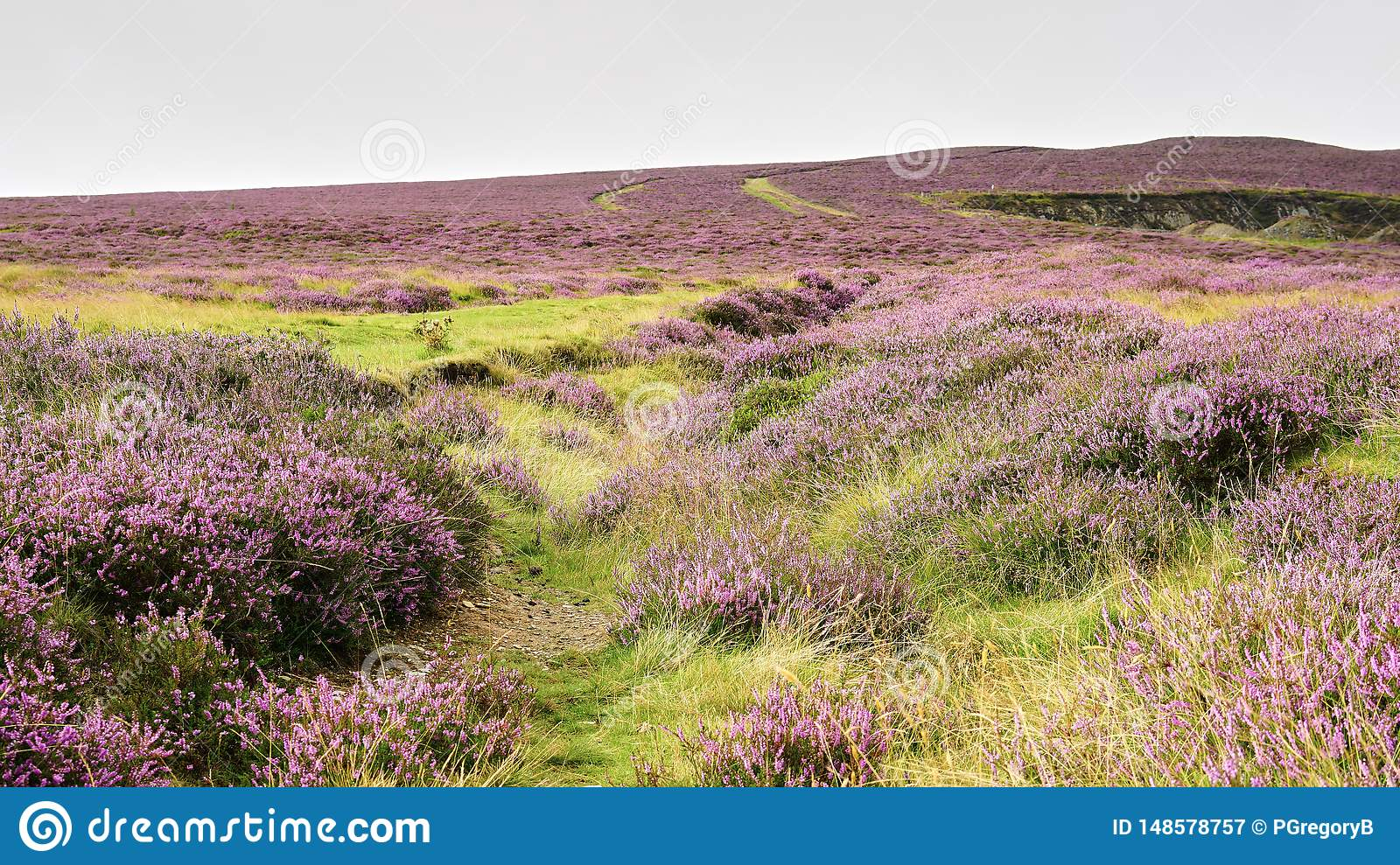 Scottish Lowlands Panorama with expansive purple heather