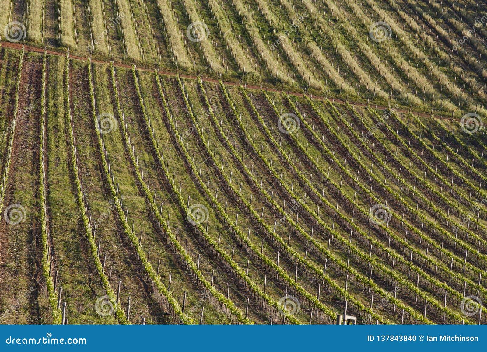 Rolling wijngaarden van een wijnlandbouwbedrijf in Zuid-Afrika