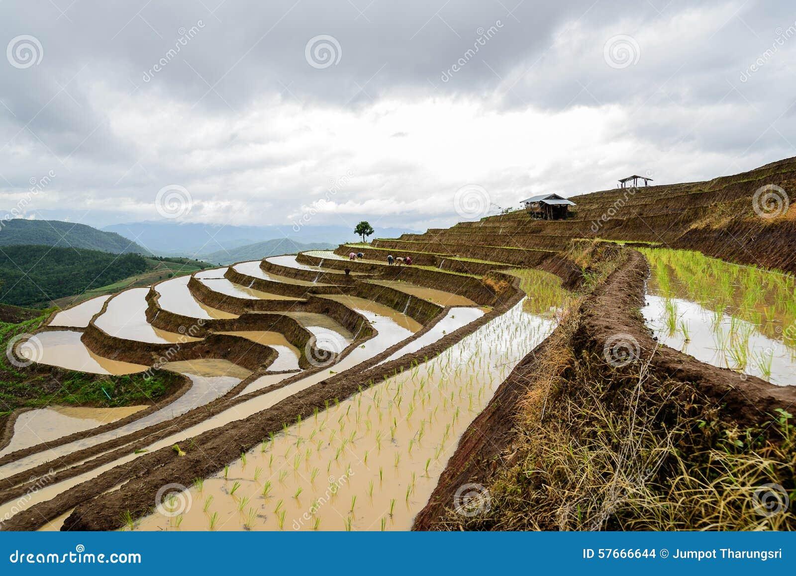 Rolnicy w ryżu tarasie
