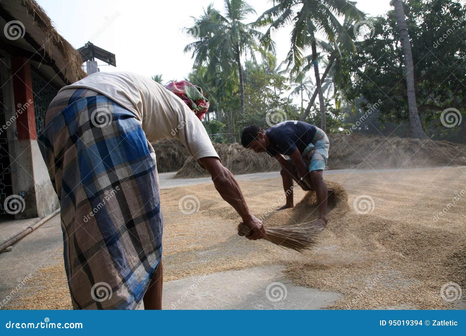 Rolniczy pracownicy suszy ryż po żniwa w Kumrokhali, Ind