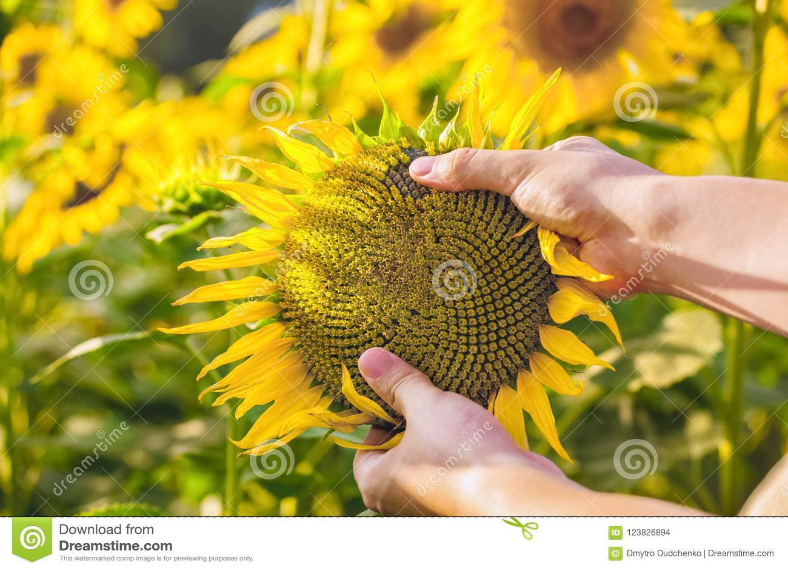 Rolnik trzyma kwitnie słonecznika w jego rękach i sprawdza na polu