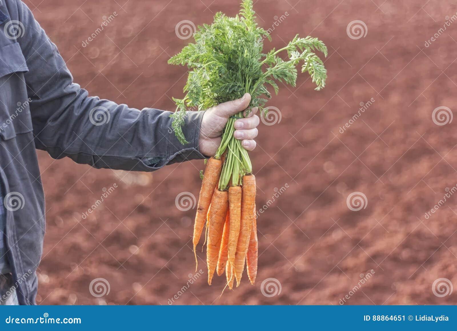 Rolnik trzyma wiązkę marchewki