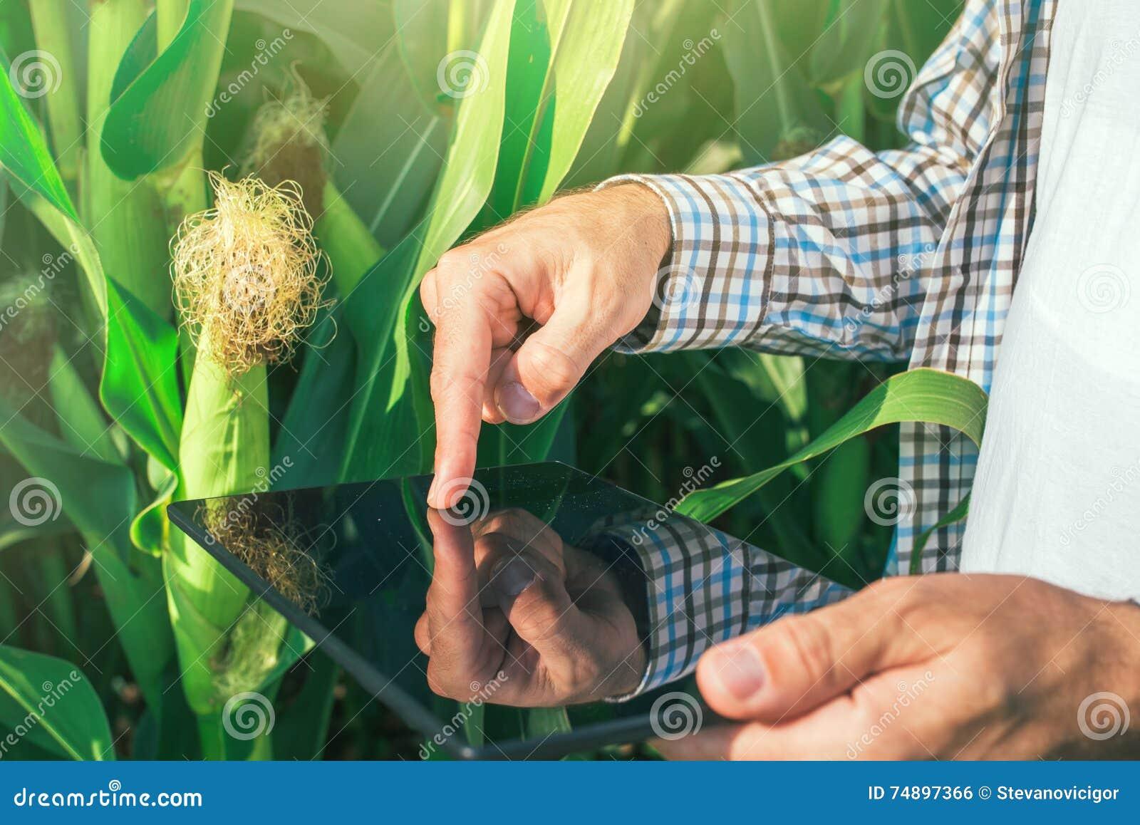 Rolnik używa cyfrowego pastylka komputer w kukurydzanym polu