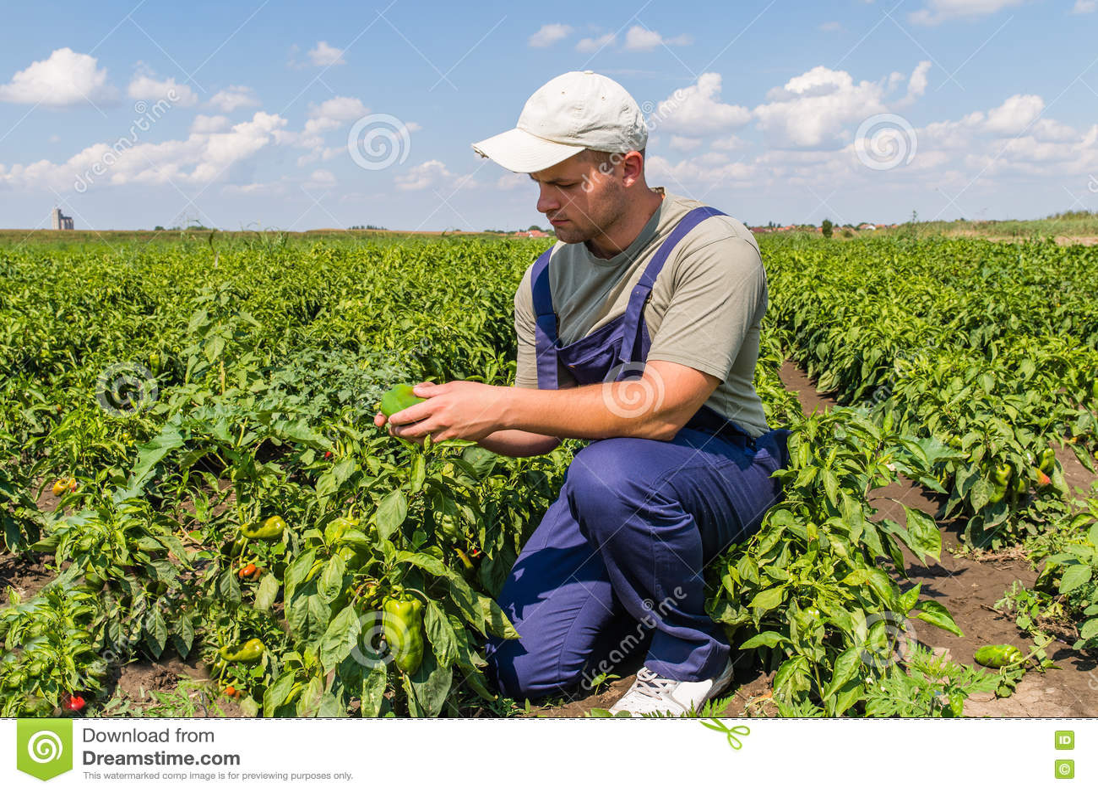Rolnik w pieprzowych polach