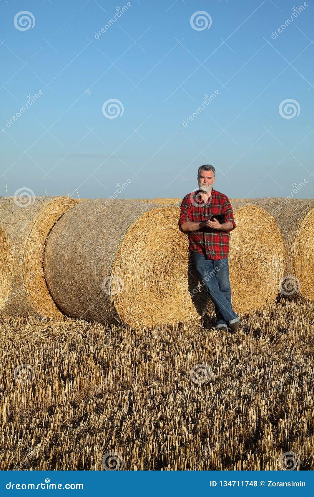Rolnik w pszenicznym polu po żniwa z staczającą się słomą w beli