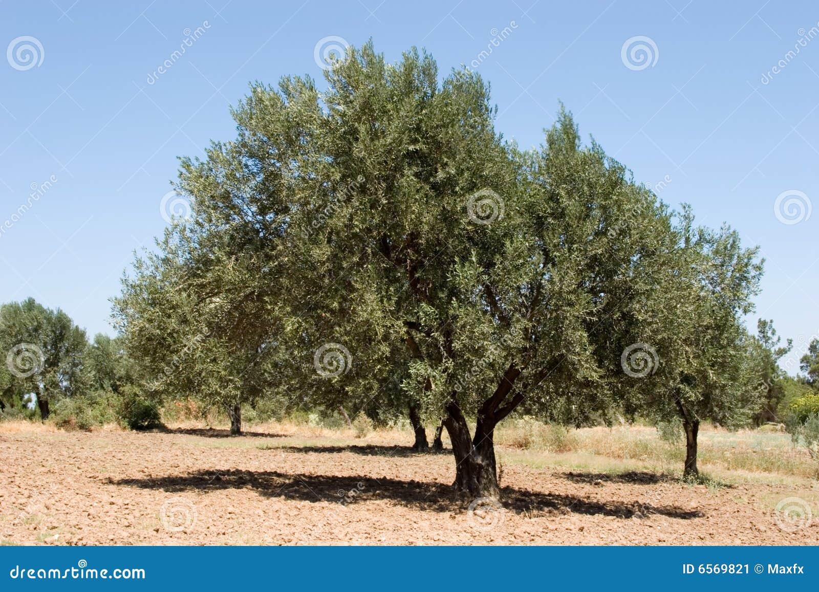 Rolny drzewo oliwne