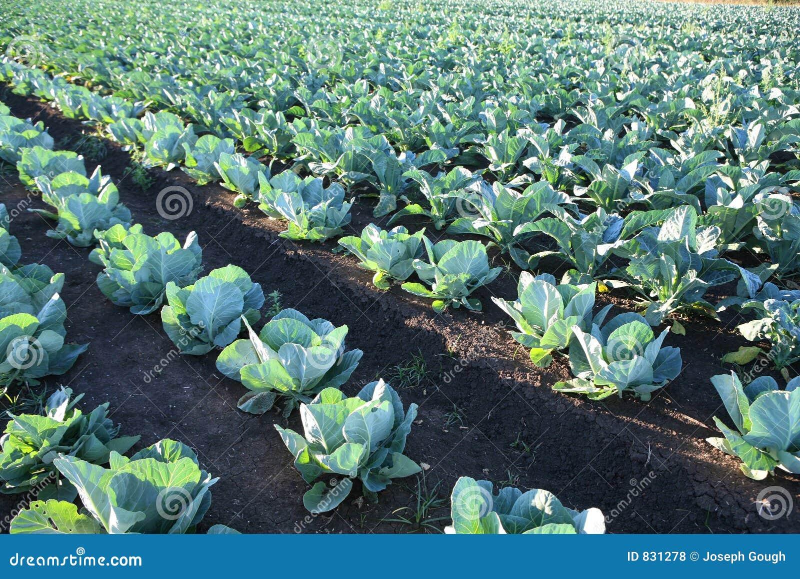 Rolnych kapuściany pola warzyw