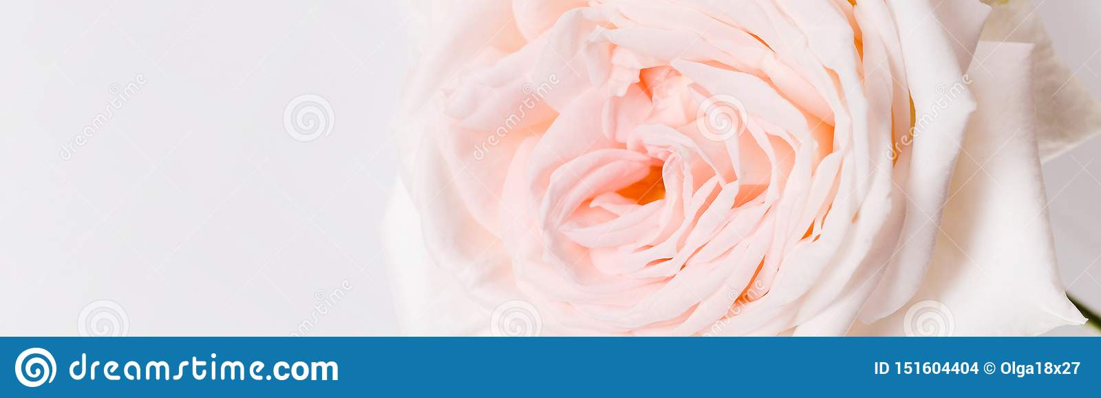 Romantic banner, delicate white pink rose flowers close-up. Fragrant pink petals