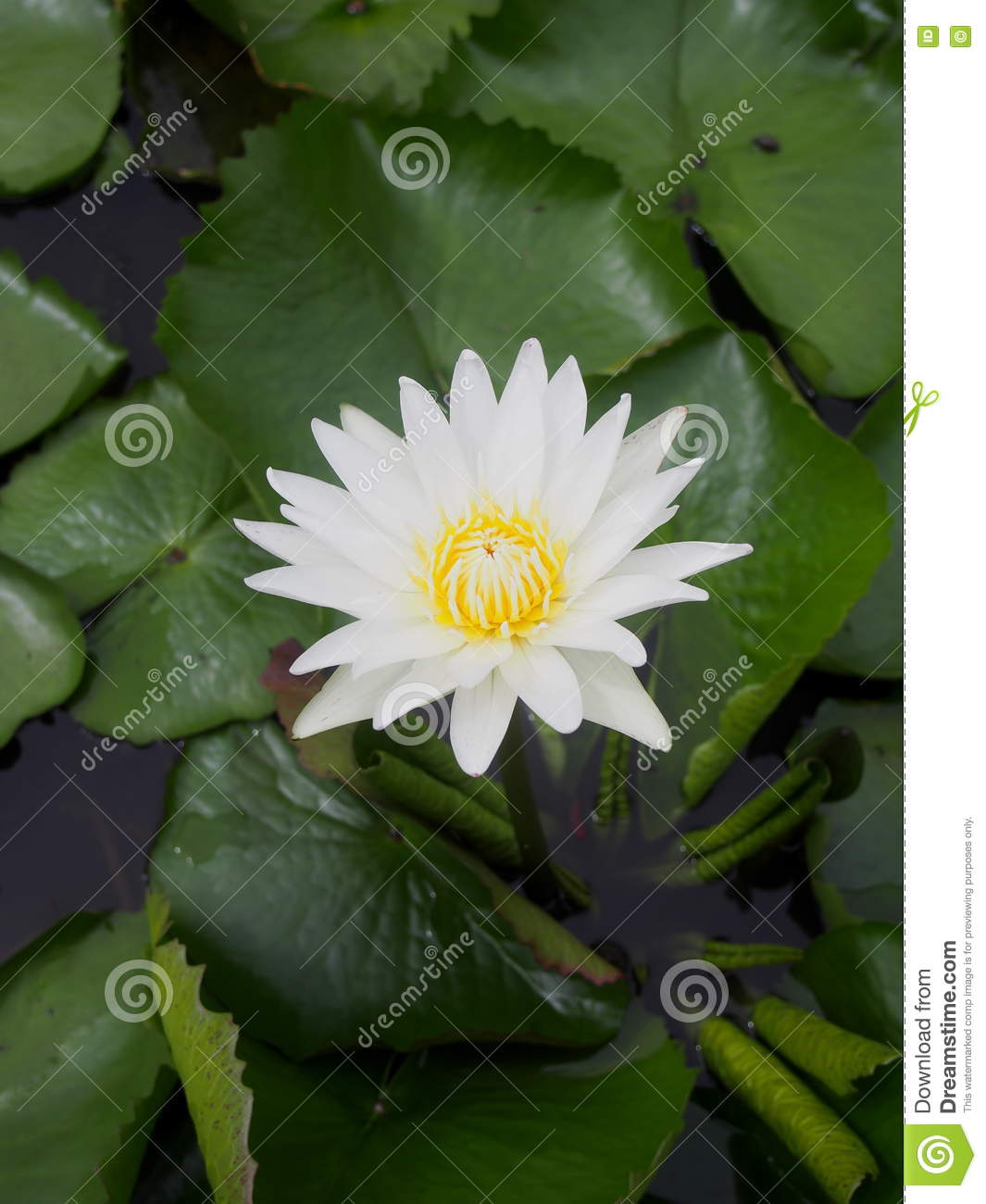 Romantic Clean White Lotus Flower Stock Photo Image Of Leaves