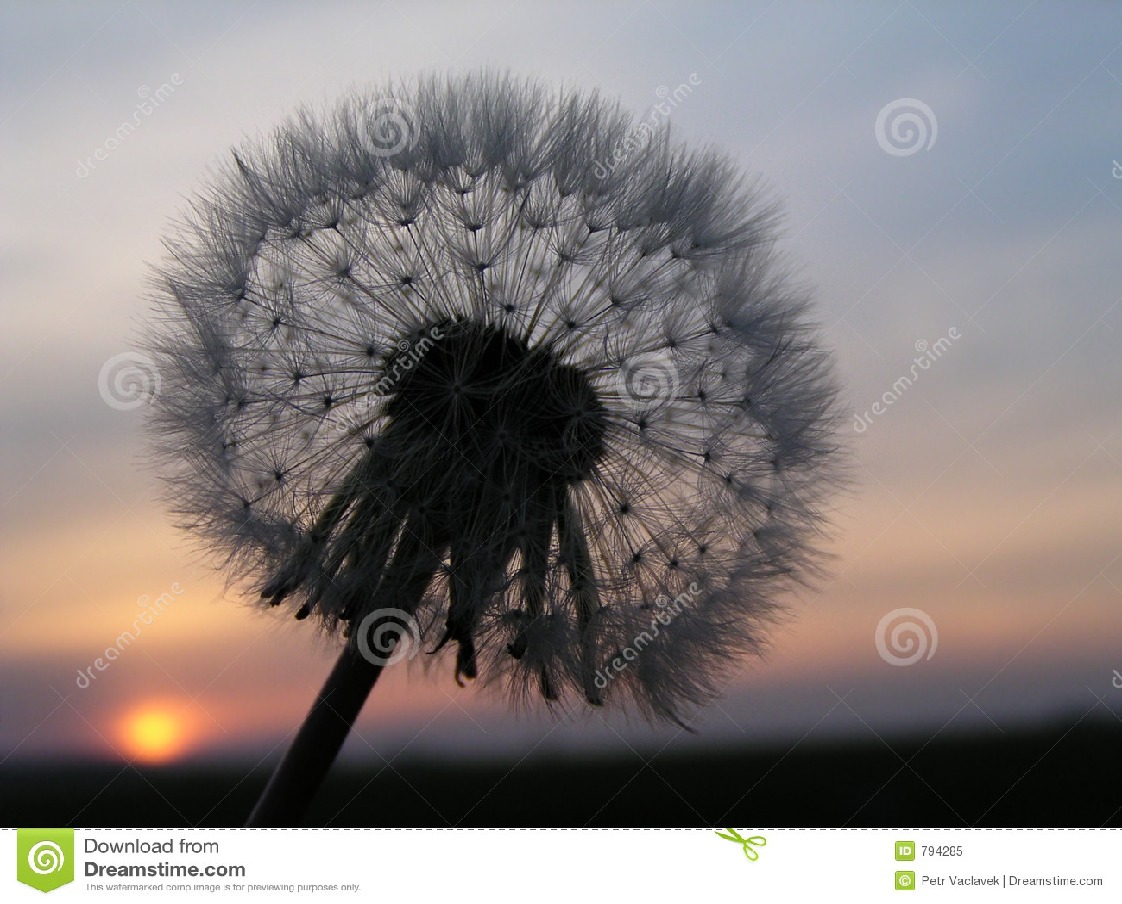 dandelion sunset related keywords - photo #10