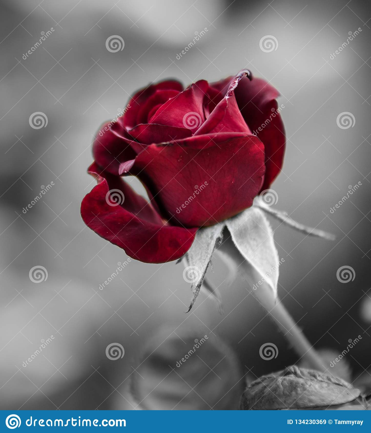 Deep red rose on a black and white background stock image image of