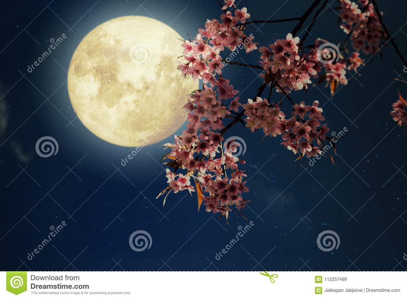 Beautiful cherry blossom sakura flowers in night skies with full royalty free stock photo izmirmasajfo