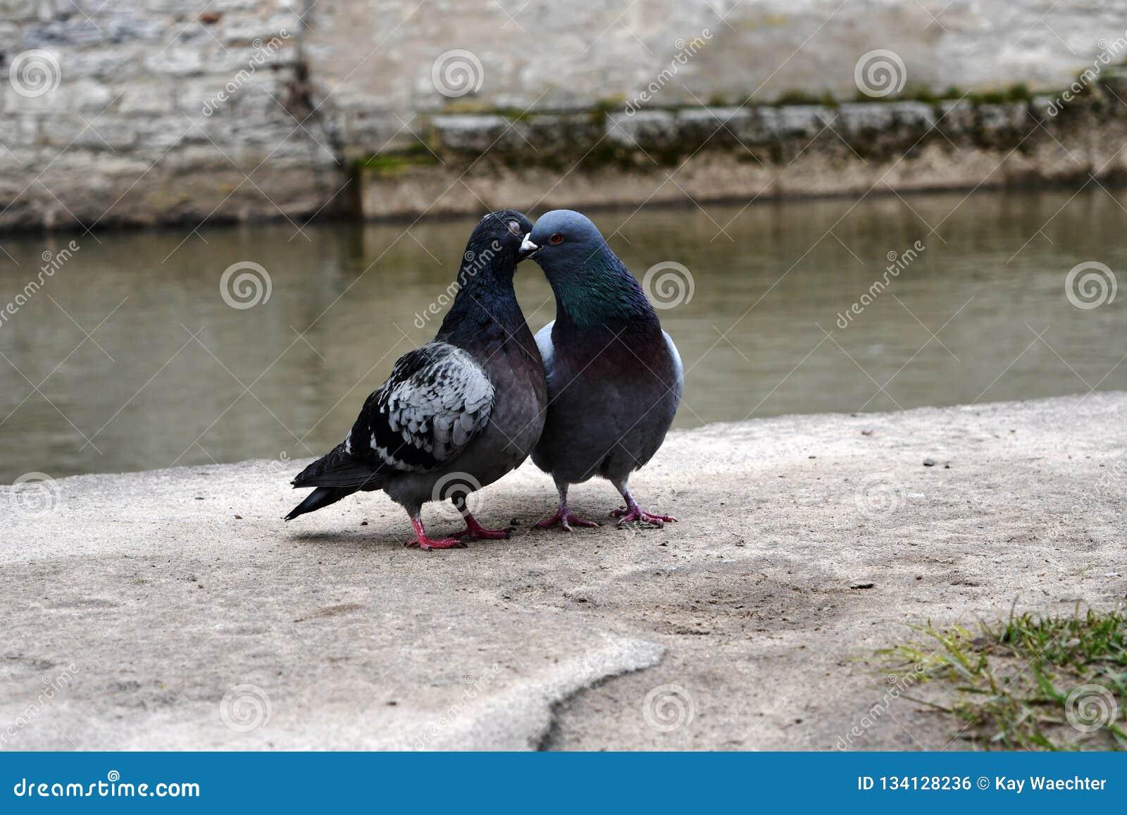 Romantic Pigeons Whispering