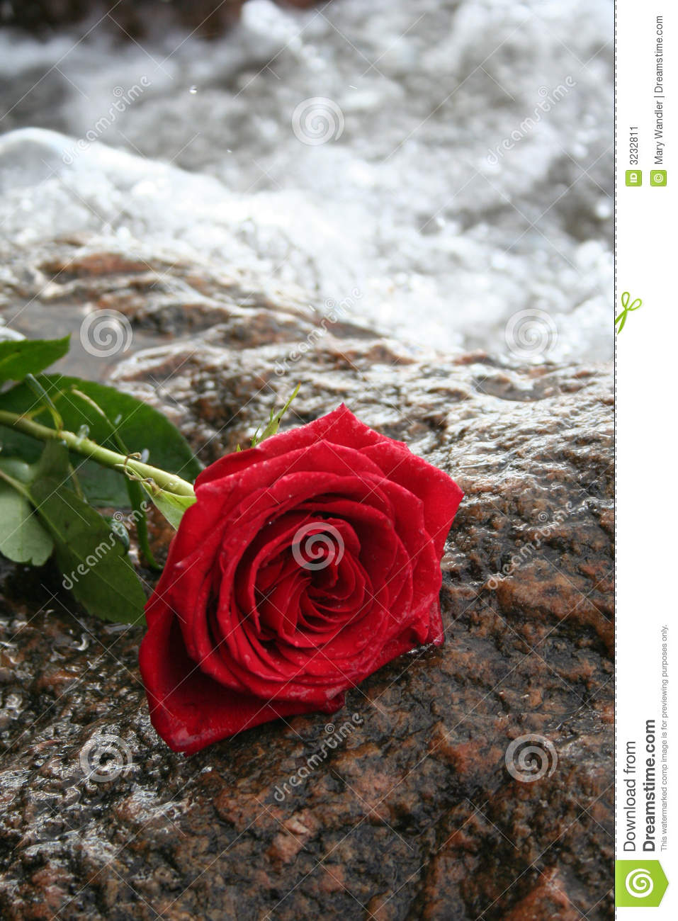 romantic red rose stock image  image, Beautiful flower