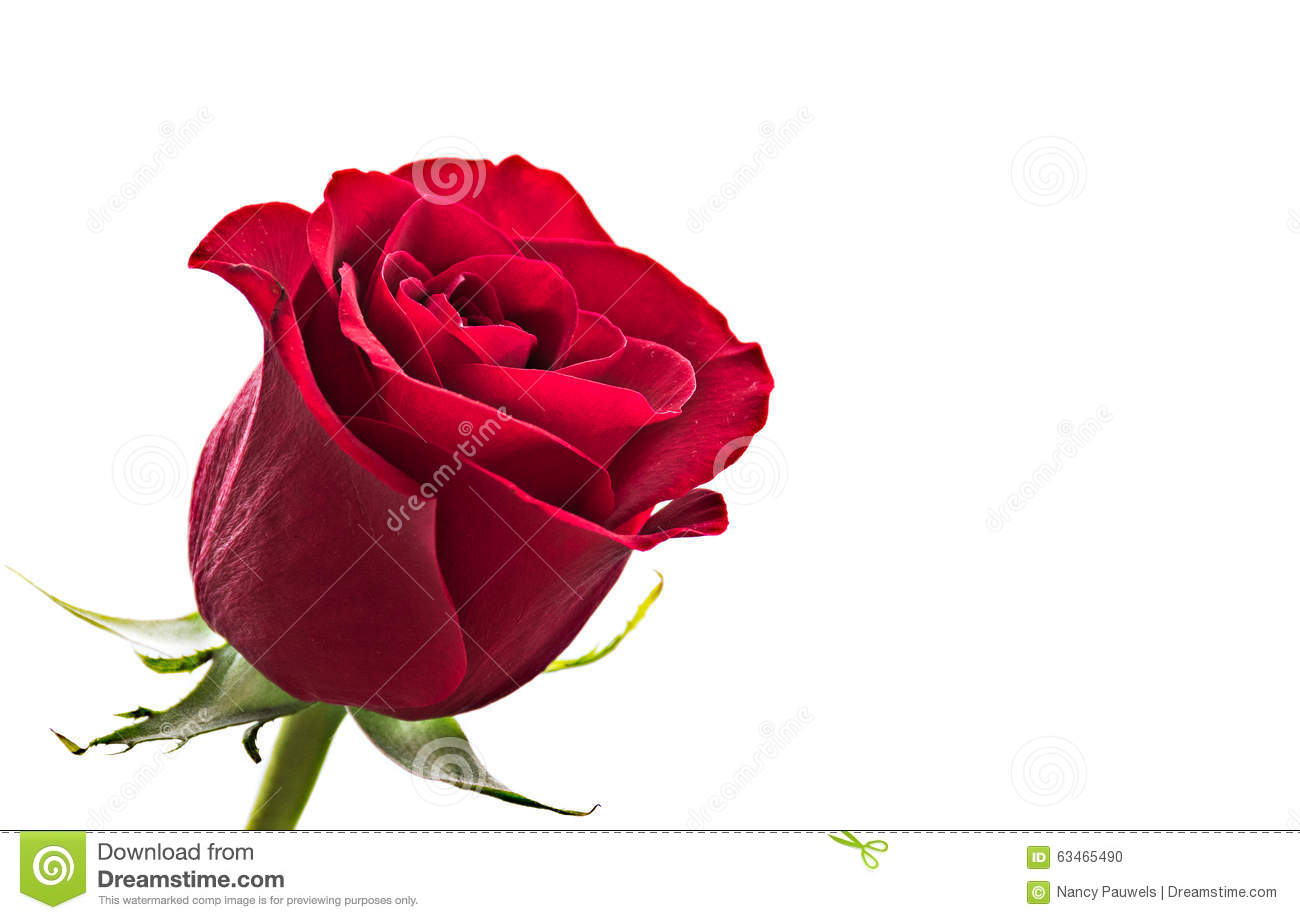 Romantic Red Rose Stock Photo Image 63465490