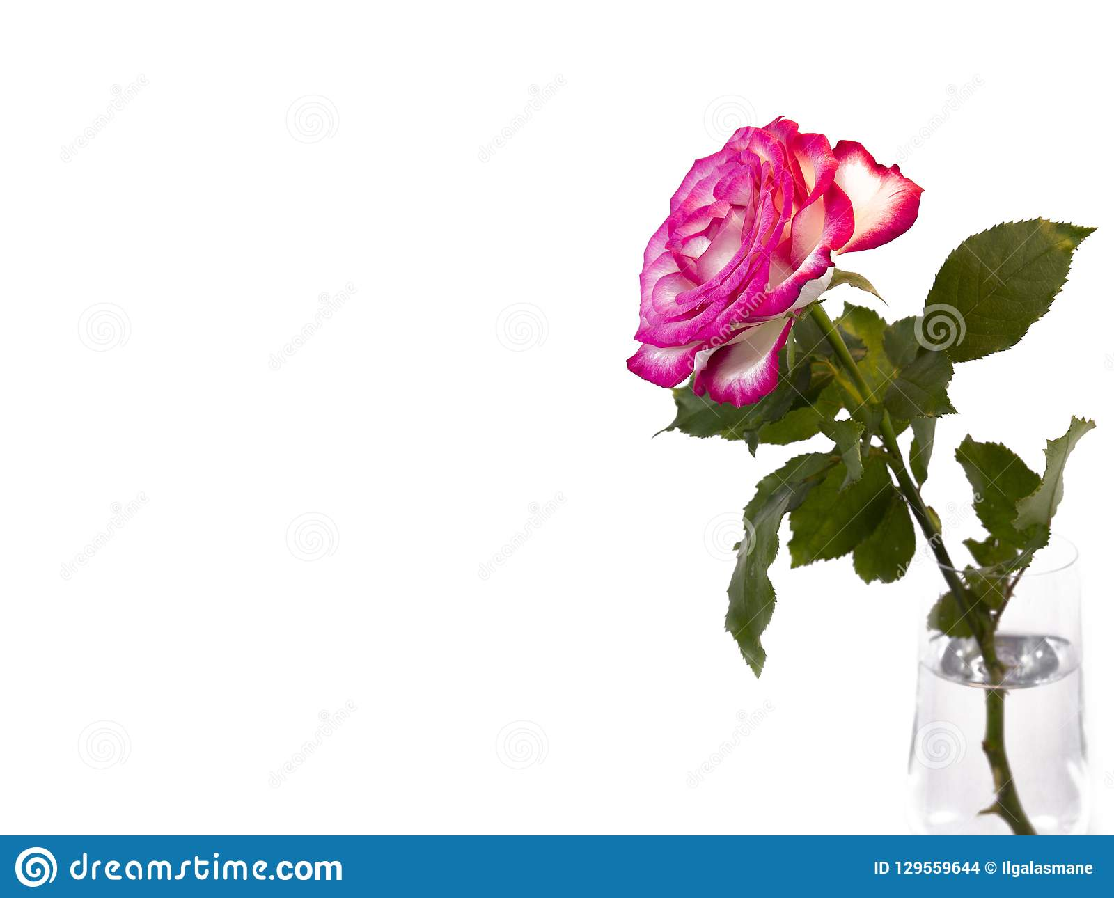 Romantic red rose flower ,isolated on white background