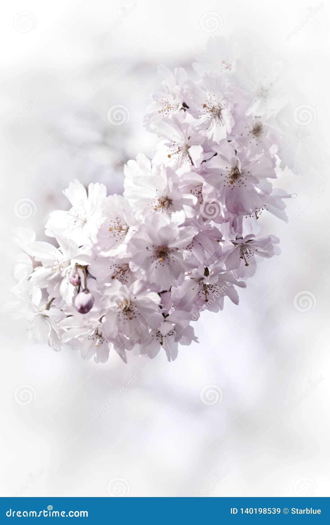 Romantic spring tree of wild cherry tree or apple tree in blooming