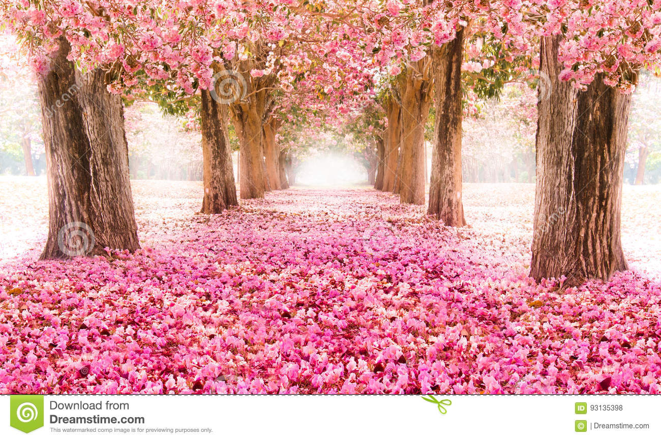 The Romantic Tunnel Of Pink Flower Trees Stock Photo Image Of