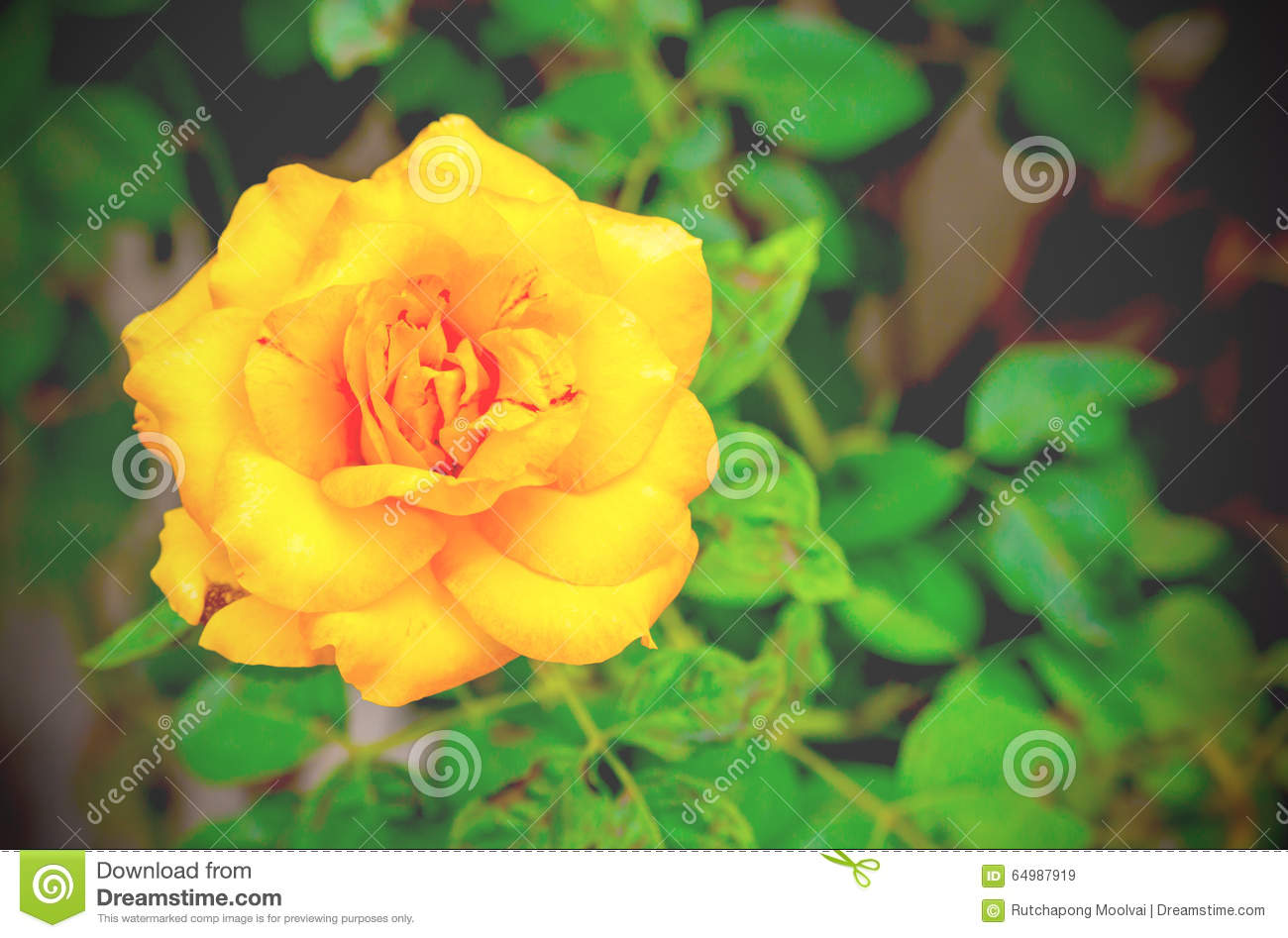 Romantic Yellow Roses Flowers With Water Drops  Vintage Style Stock