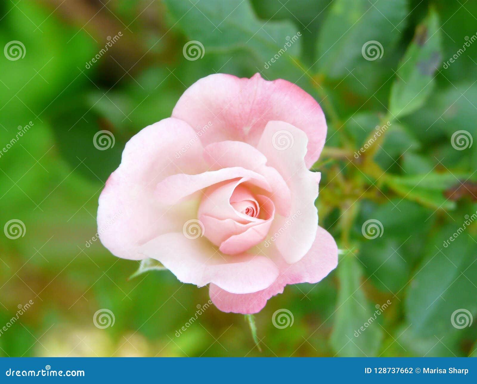 Romantico impallidisca la rosa di rosa
