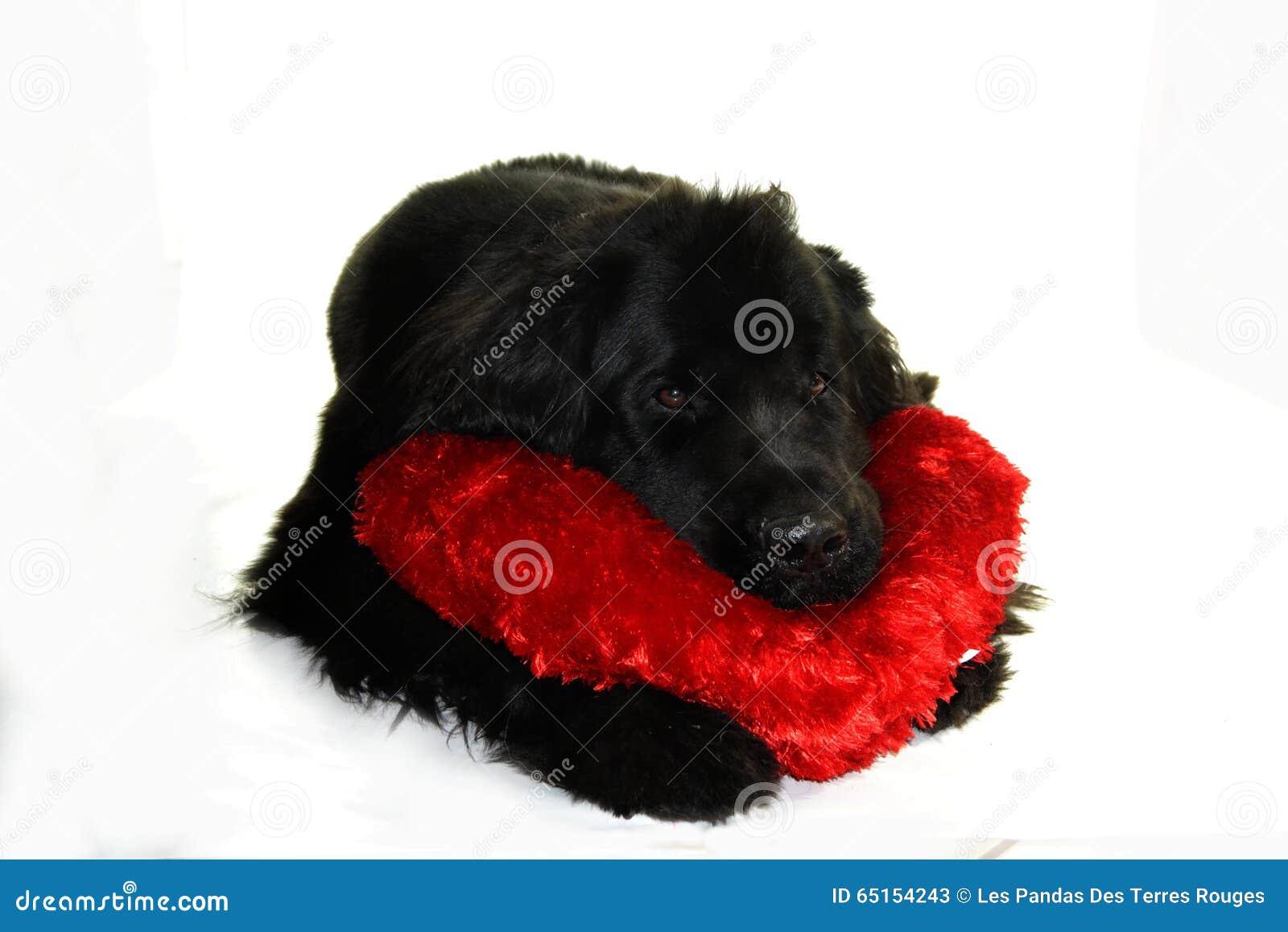 Romantiker för coeur för neuve för Newfounland hundterre
