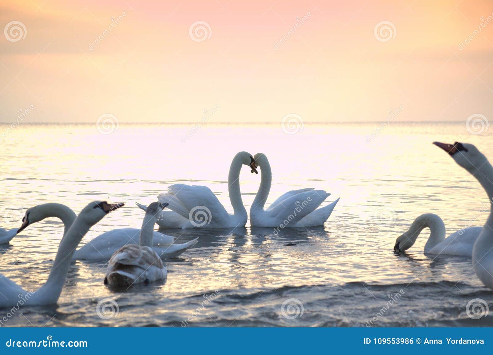 Romantische paar en zwanentroep in ochtendoverzees