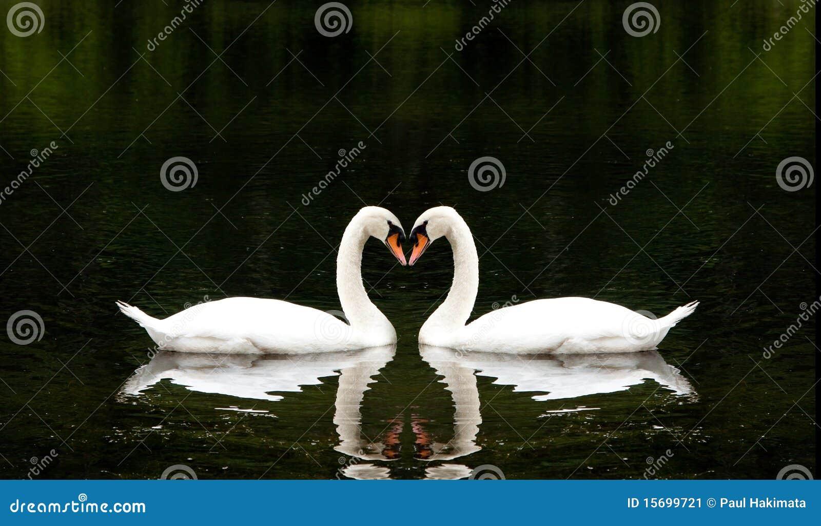 Romantyczni łabędź