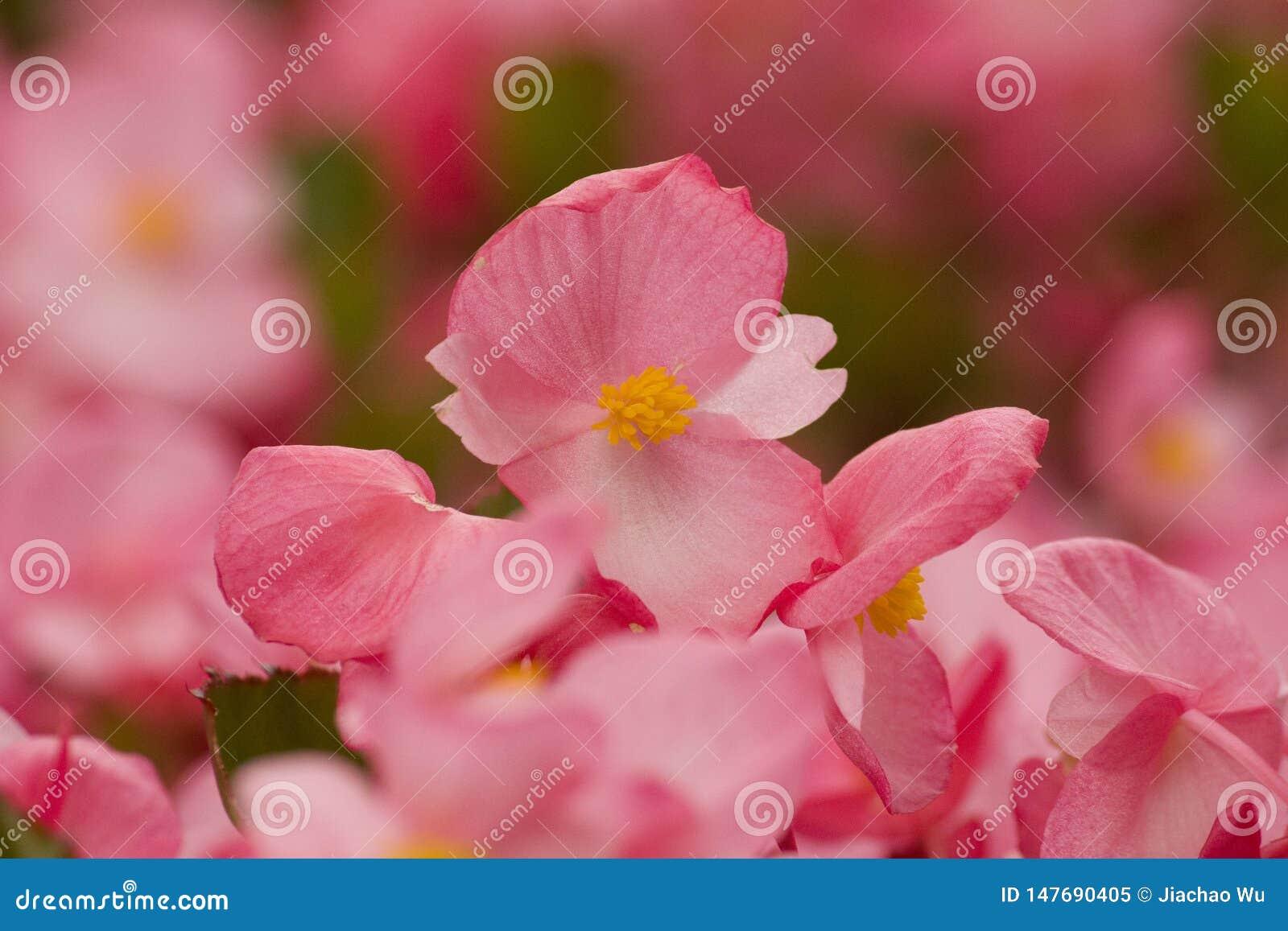 Romantyczni menchia kwiaty, lata crabapple kwiaty