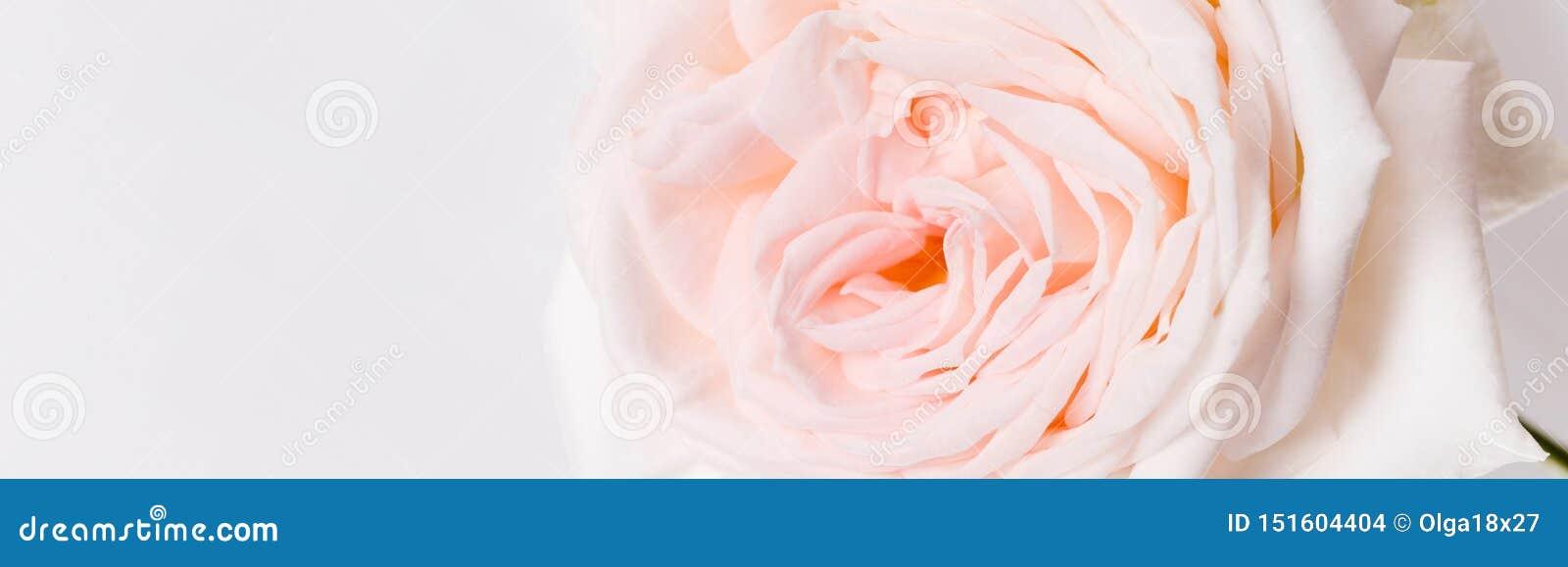 Romantyczny sztandar, delikatna biel menchii róża kwitnie w górę r